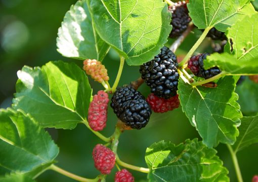 Mulberry-leaf-extract