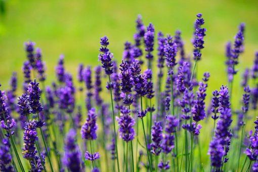nuoc-hoa-lavender