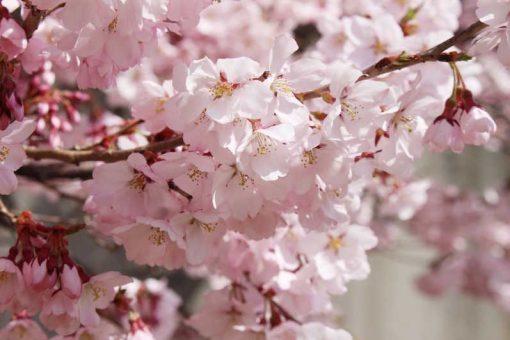 japanese-cherry-blossom-fragrance-oil